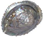 Feng Shui Abalone Shell